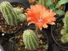 オレンジの花がきれいな長いサボテン
