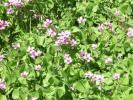 紫色の花のカタバミ