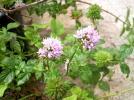 香りが強いオーデコロンミントの花