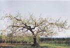ふじの原木(農林水産省果樹試験場)