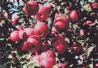 りんご栽培の主流となったふじ